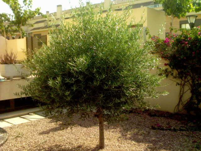 Poda ornamental en alicante for Arboles ornamentales de jardin